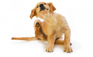 does-my-dog-have-fleas-symptoms-and-signs-of-fleas-on-dogs