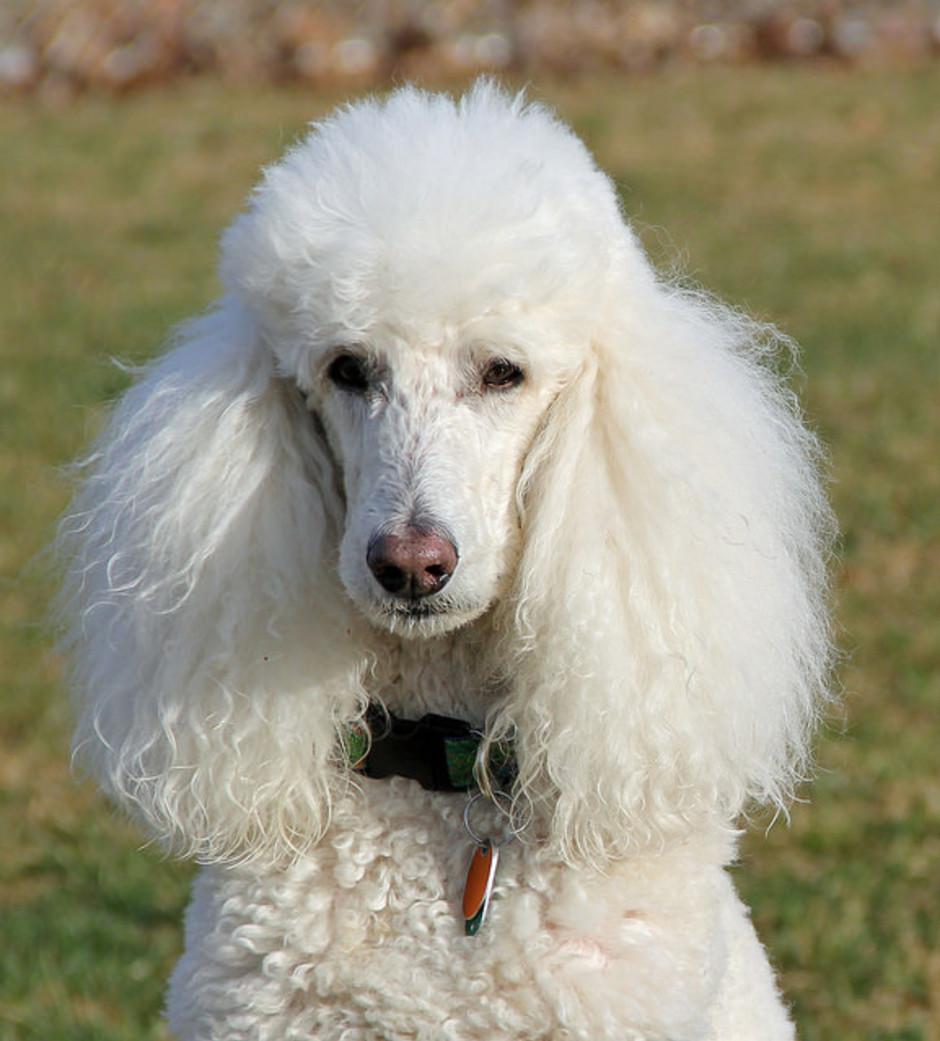 Are Poodles Good Dogs For Children