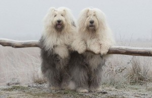 The Translation For Friendship Is Sheepdog